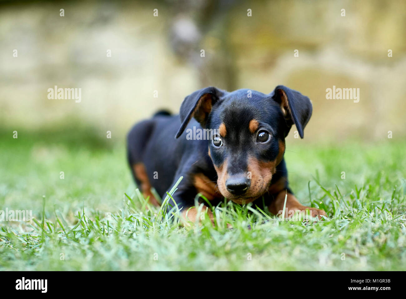 German Pinscher. Puppy lying on a lawn. Germany. - Stock Image