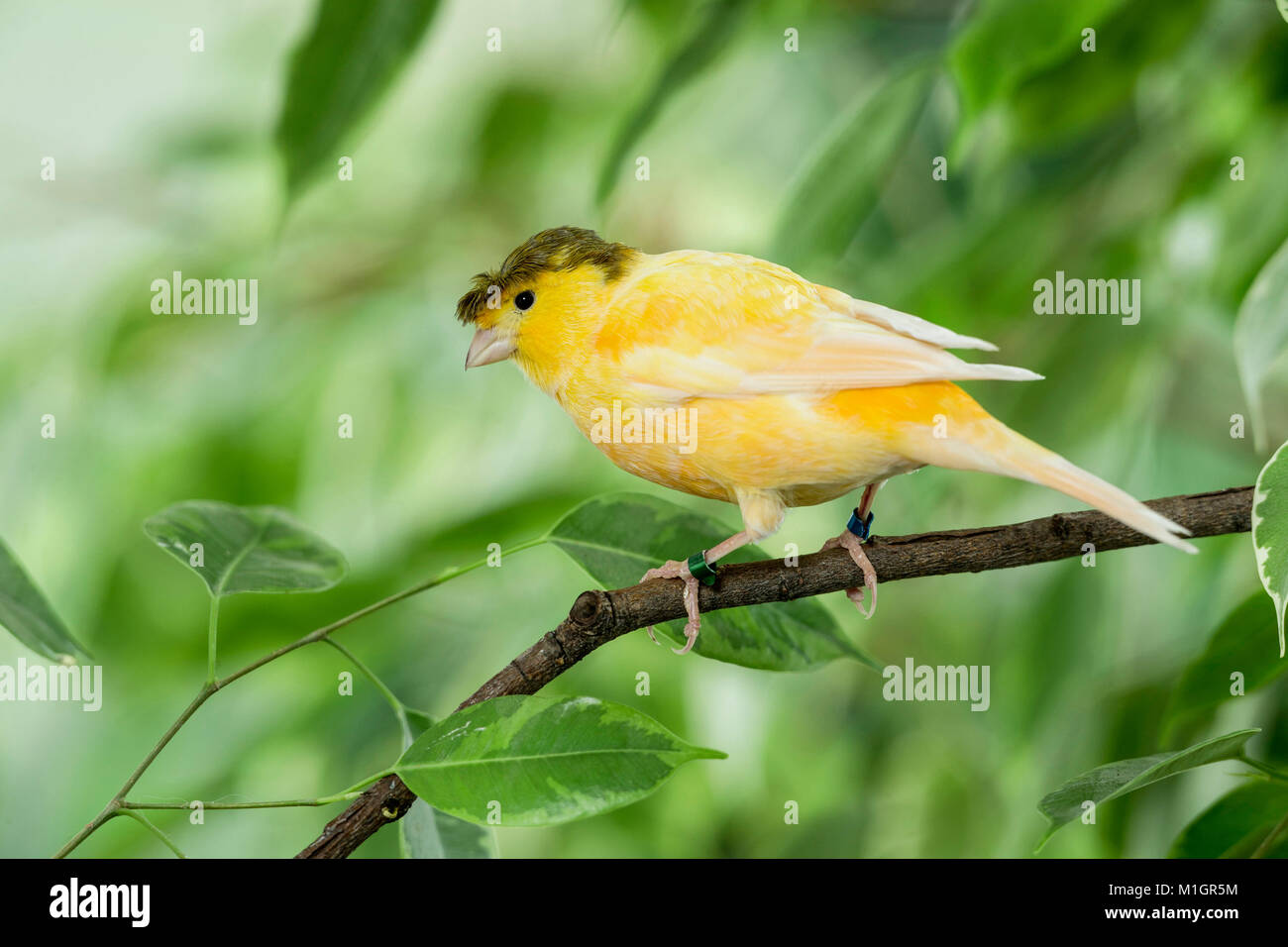 Domestic Canary. Crested bird perched on a Benjamin Fig twig. Germany - Stock Image