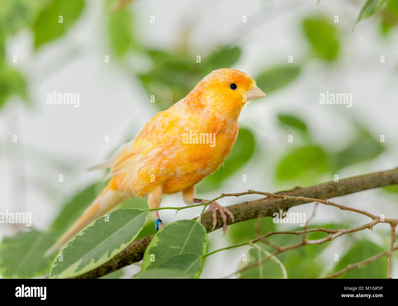 Domestic Canary. Orange bird perched on a Benjamin Fig twig. Germany - Stock Image