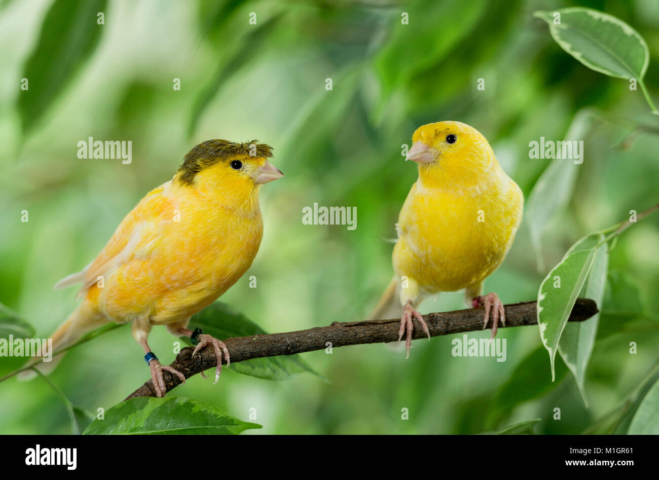 Domestic Canary. Crested and yellow bird perched on a Benjamin Fig twig. Germany - Stock Image