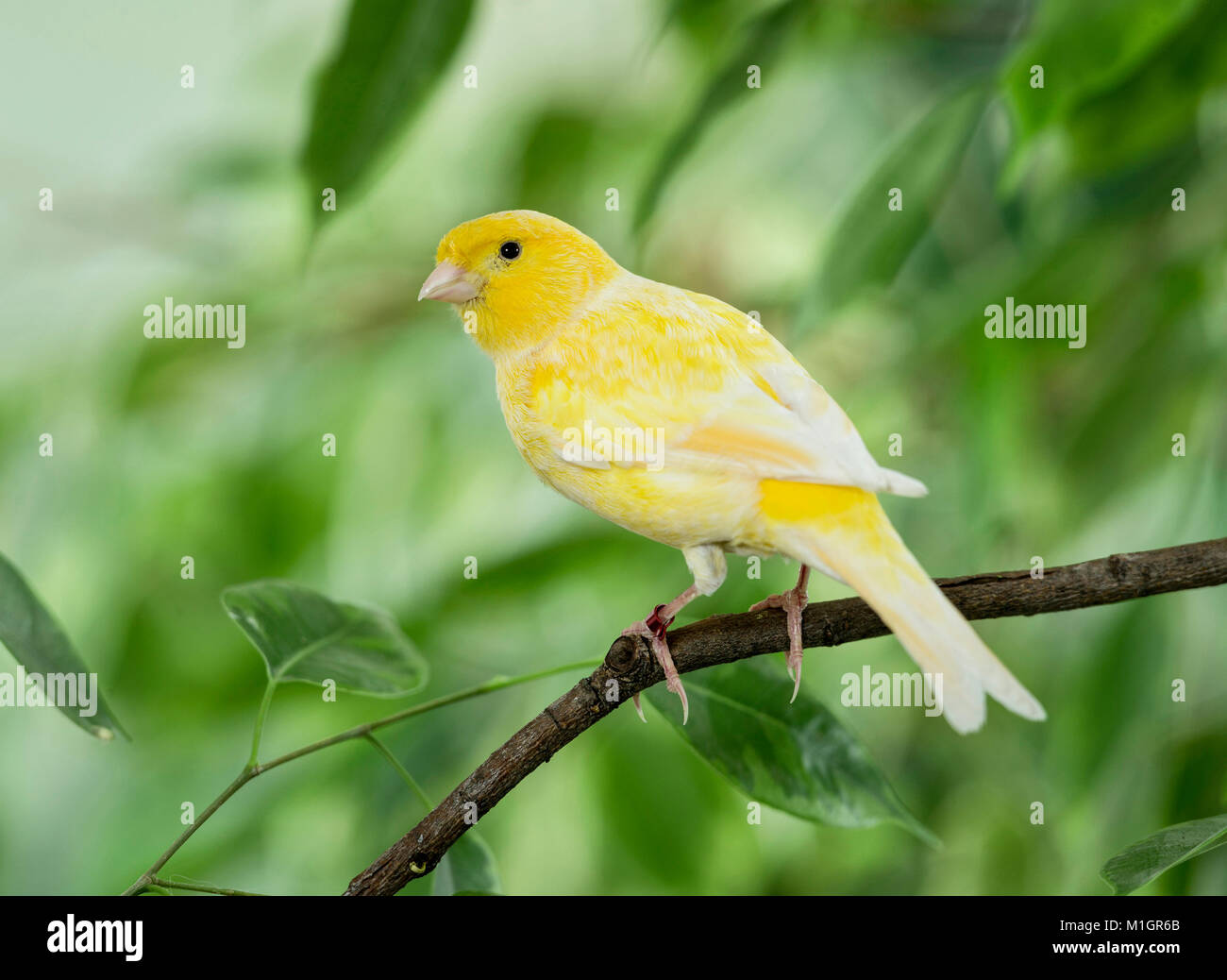 Domestic Canary. Yellow bird perched on a Benjamin Fig twig. Germany. - Stock Image