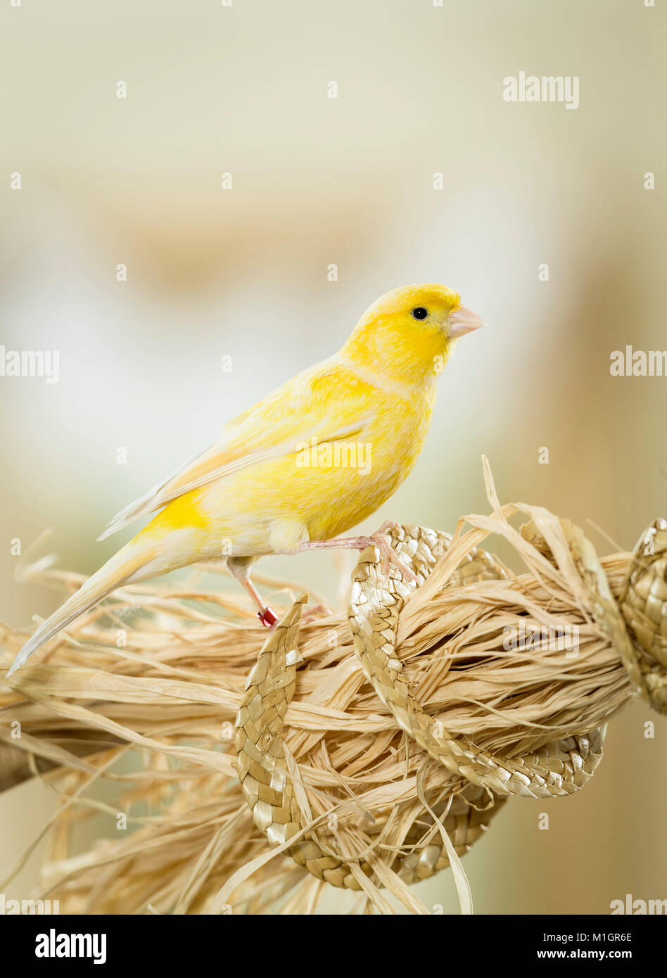 Domestic Canary. Adult perched on a bundle of bast fibres. Germany. - Stock Image