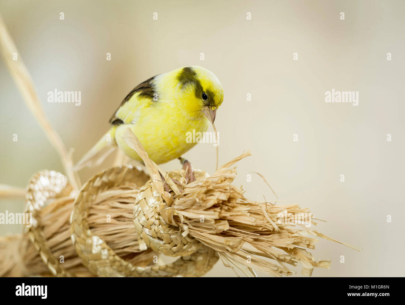 Domestic Canary. Adult pulling on bast fibres. Germany. - Stock Image