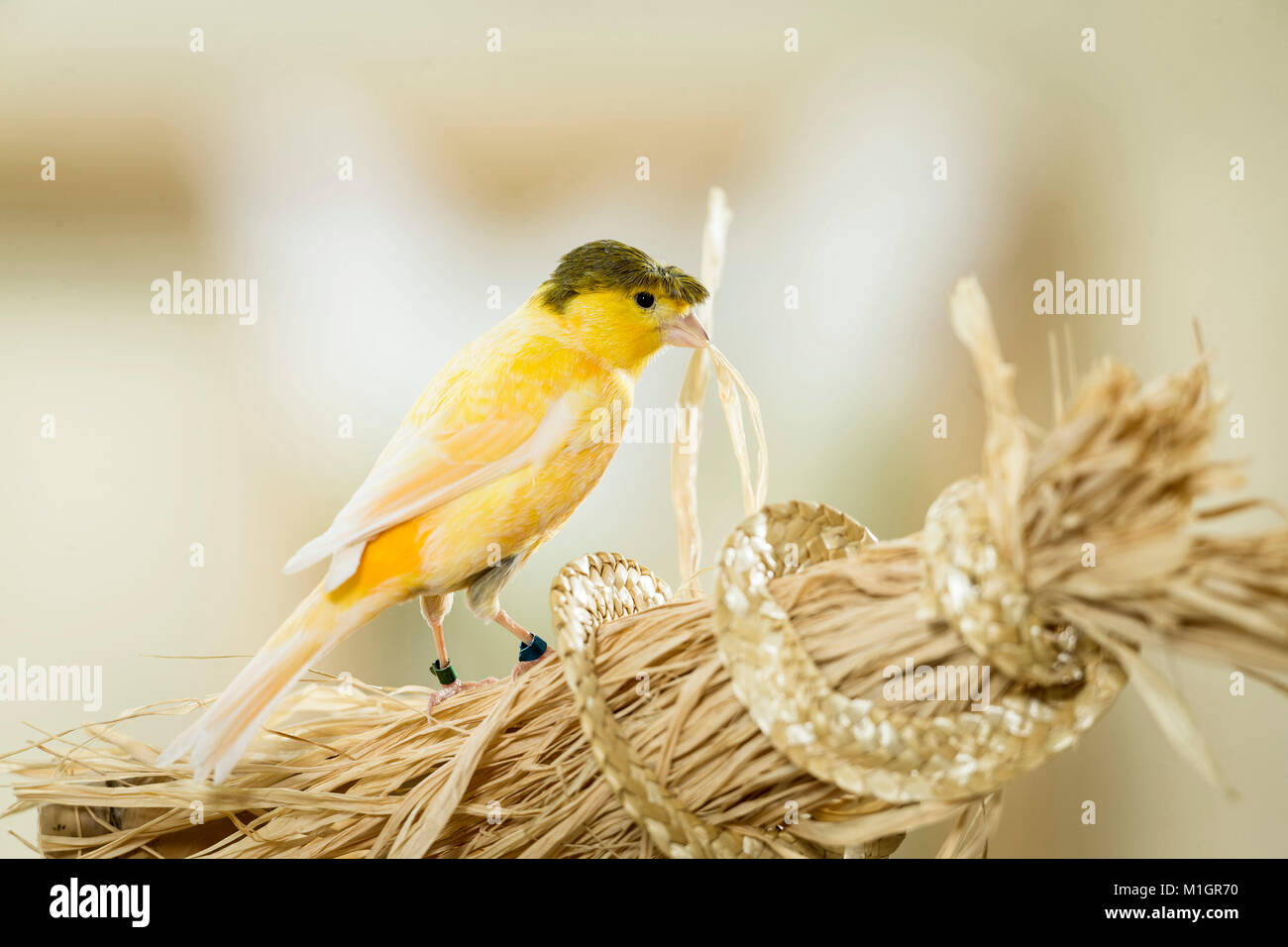 Domestic Canary. Crested adult pulling on bast fibres. Germany. - Stock Image