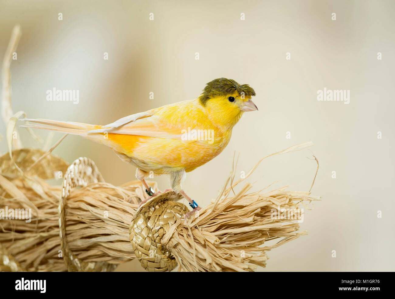 Domestic Canary. Crested adult standing on bundle of bast fibres. Germany. - Stock Image