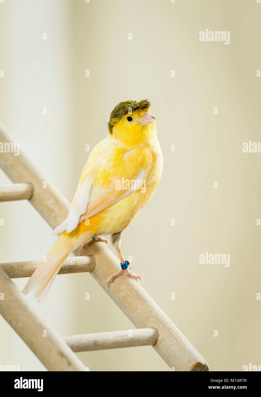 Domestic Canary. Crested adult standing on a small wooden ladder. Germany. - Stock Image
