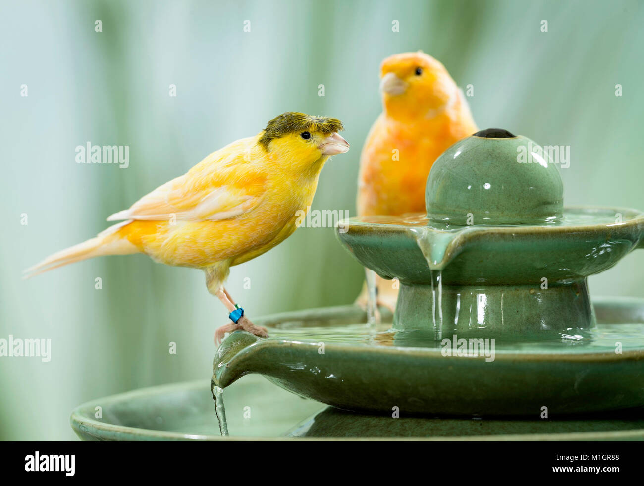 Domestic Canary. Orange and crested bird on indoor fountain. Germany - Stock Image