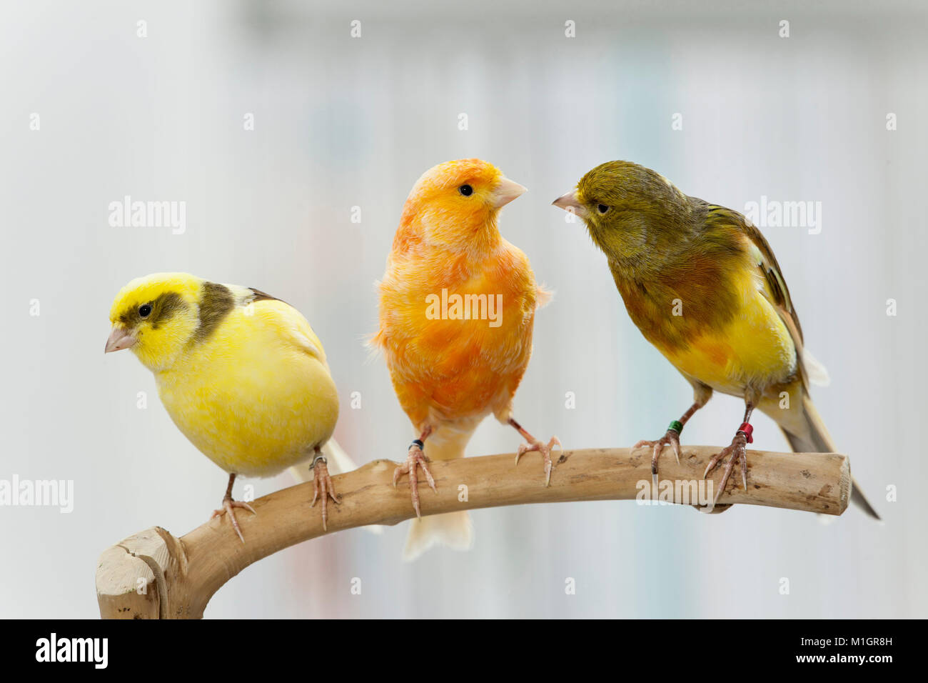 Domestic canary. Three birds of different colour perched on a twig. Germany - Stock Image