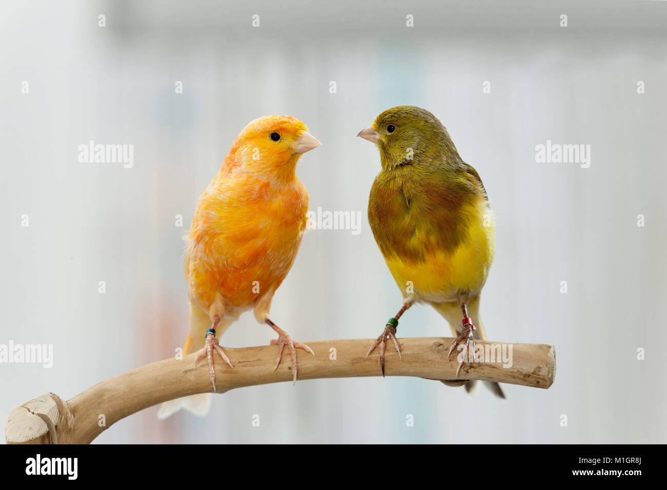Domestic canary. Two birds of different colour perched on a twig. Germany - Stock Image