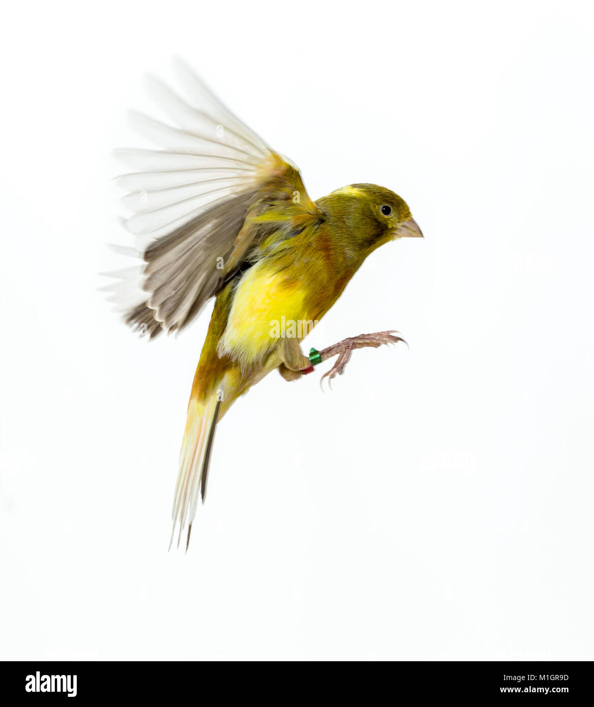 Domestic canary in flight, Studio picture against a white background - Stock Image