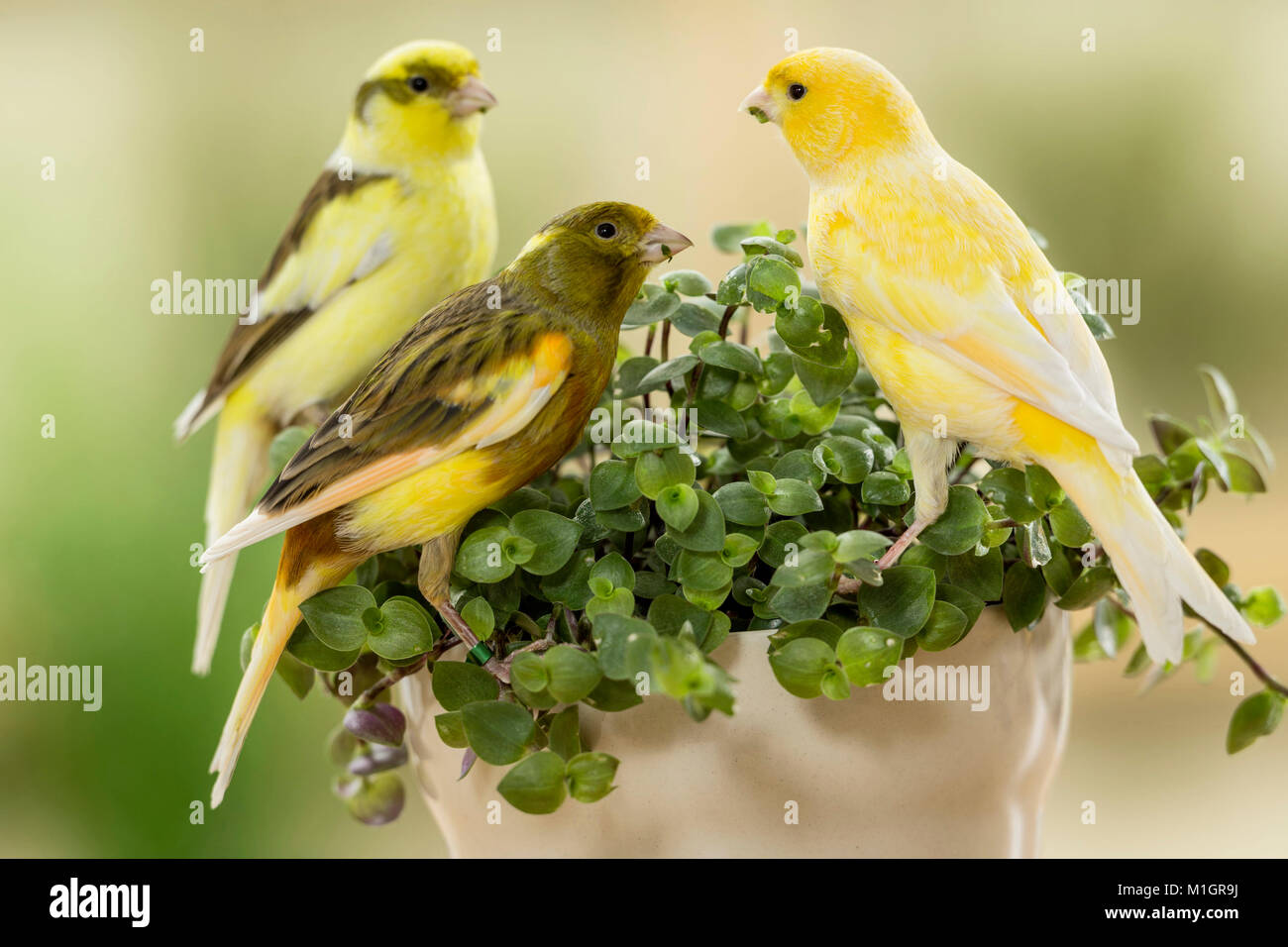 Domestic canary. Three birds of different colour eating Bolivian Jew. Germany - Stock Image