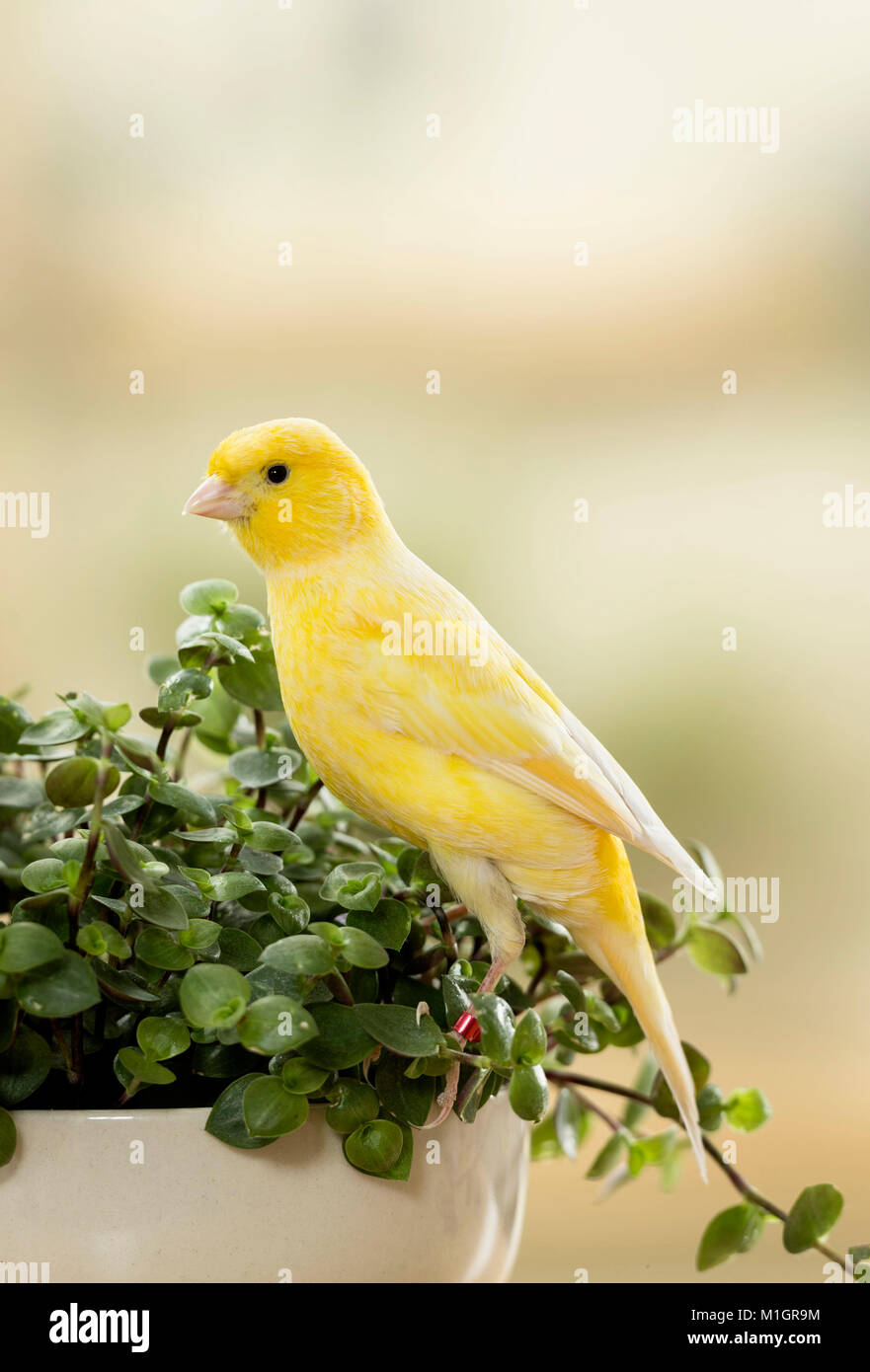 Domestic canary. Adult bird eating Bolivian Jew. Germany - Stock Image