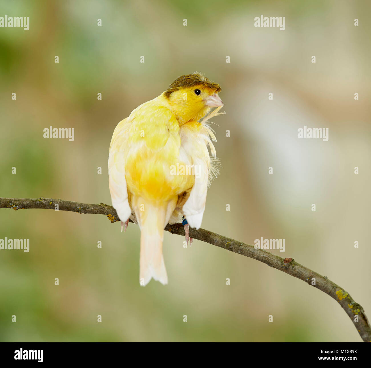 Domestic Canary. Crested bird perched on a twig while preening. Germany - Stock Image