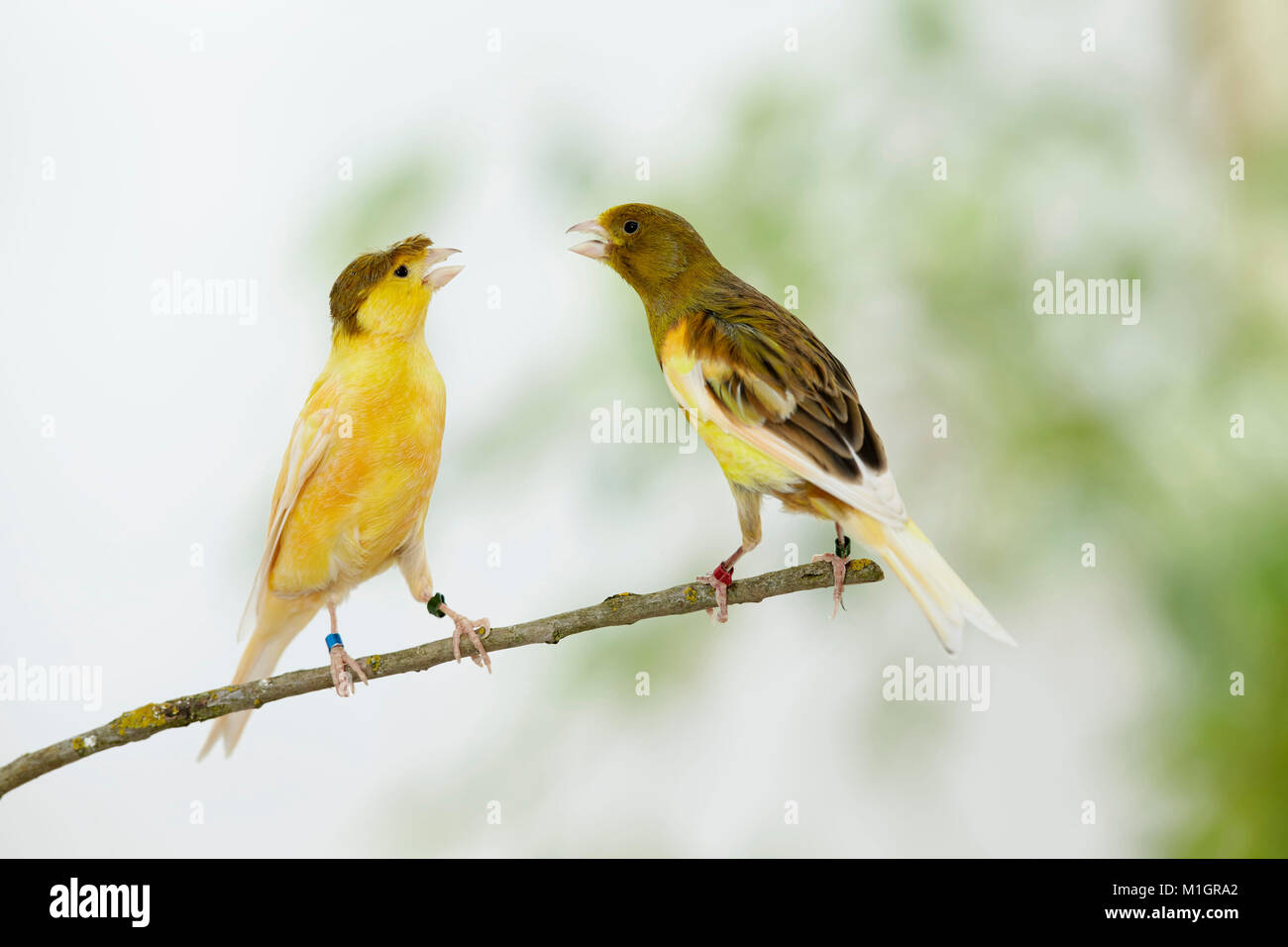 Domestic canary. Two birds of different colour perched on a twig while arguing. Germany - Stock Image