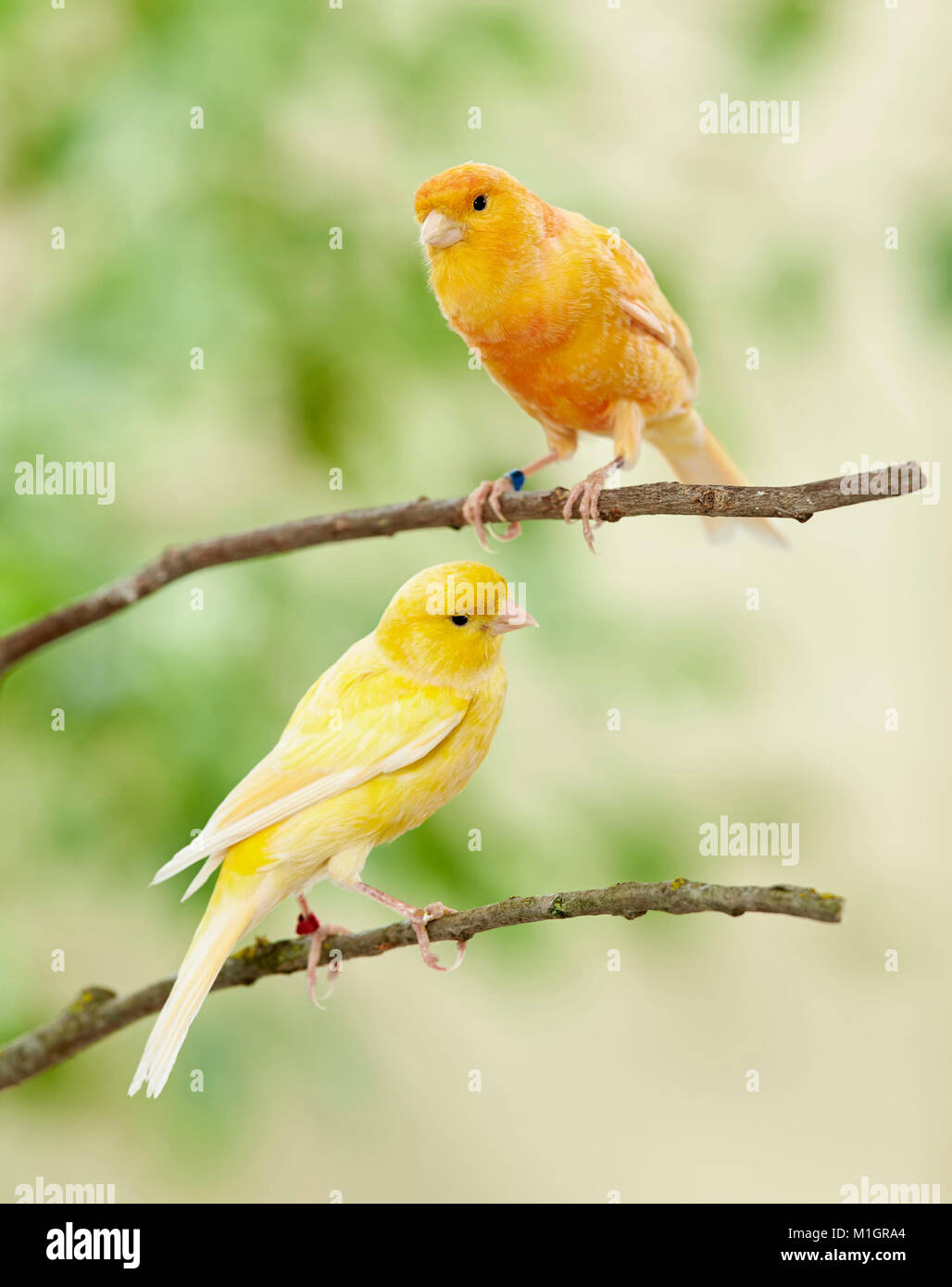 Domestic canary. Two birds of different colour perched on twigs. Germany. - Stock Image