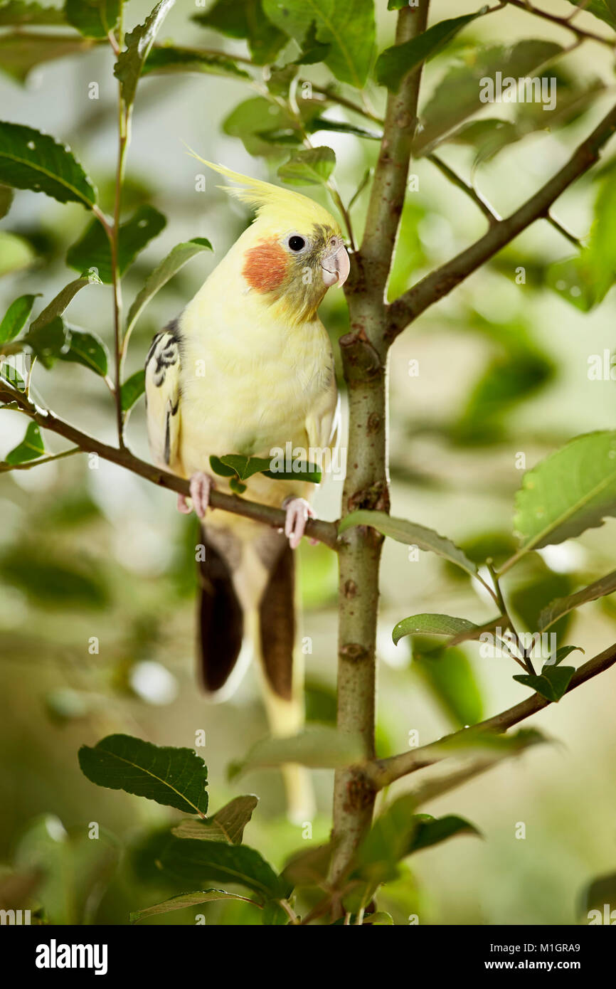 Cockatiel (Nymphicus hollandicus) perched on willow twig. Germany. - Stock Image