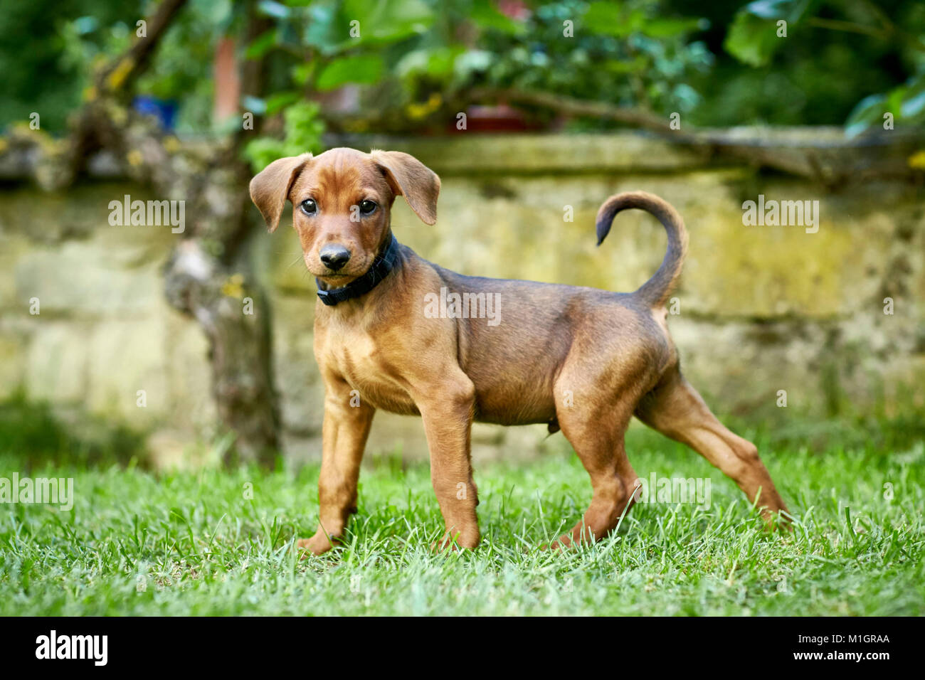 German Pinscher. Puppy standing on a lawn. Germany. - Stock Image