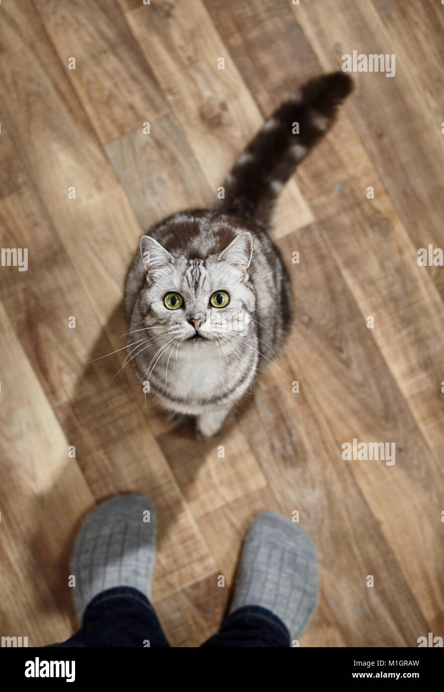British Shorthair. Gray tabby adult sitting in front of person, seen from above. Germany - Stock Image