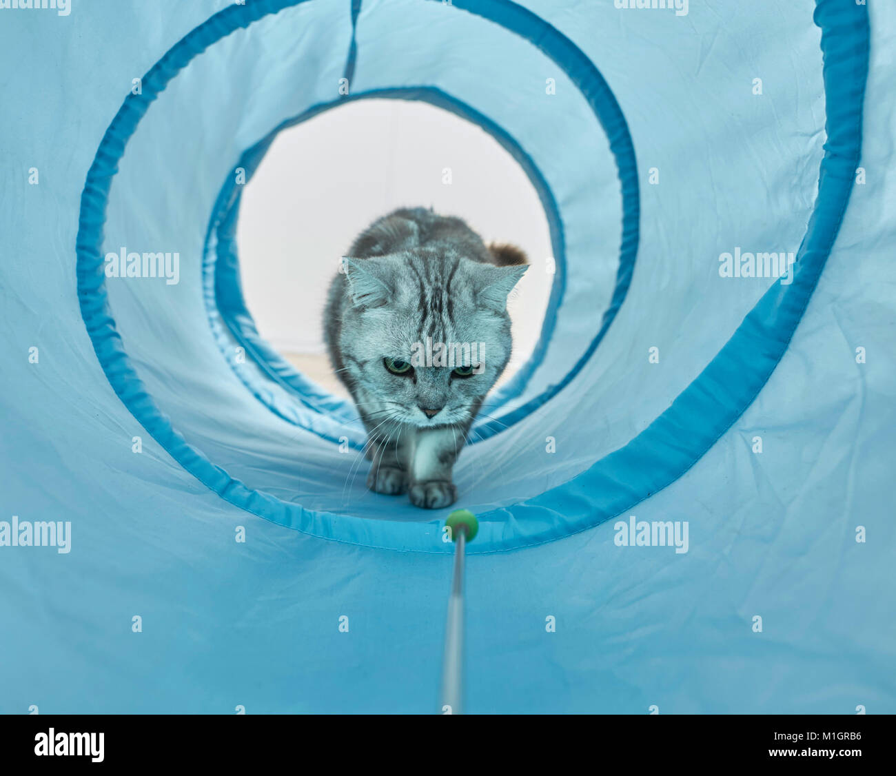 British Shorthair. Gray tabby adult waling through a blue toy tunnel. Germany - Stock Image