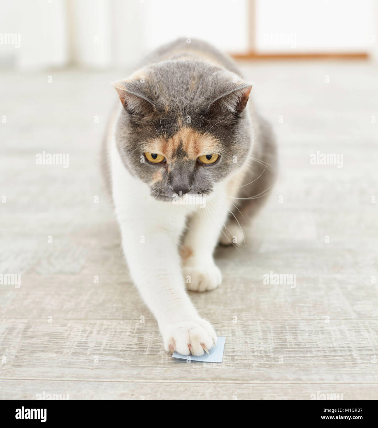 British Shorthair cat. Tricolored adult touching target during clicker training. Germany - Stock Image