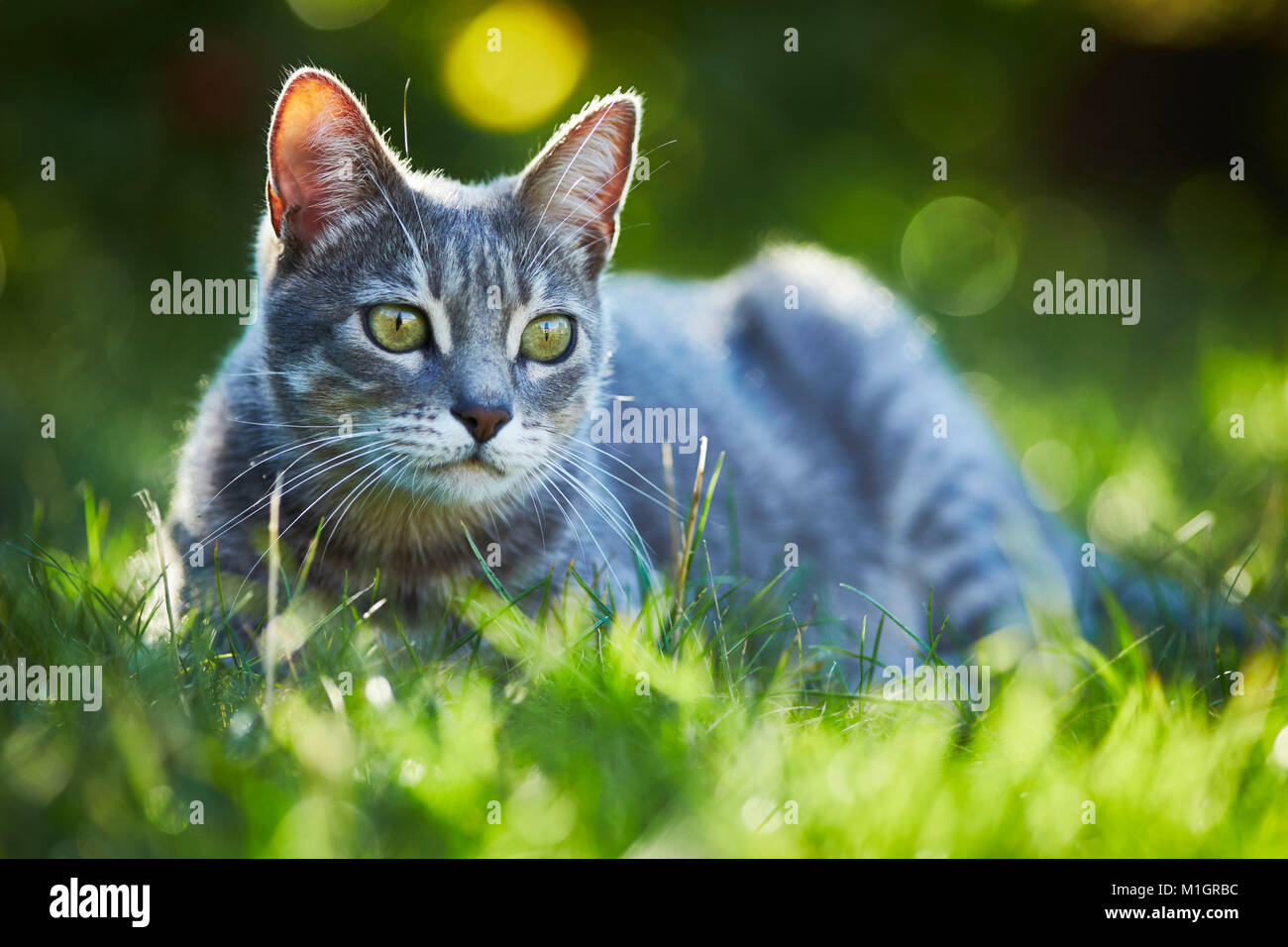 Domestic cat. Gray tabby adult lying in grass. Germany. - Stock Image