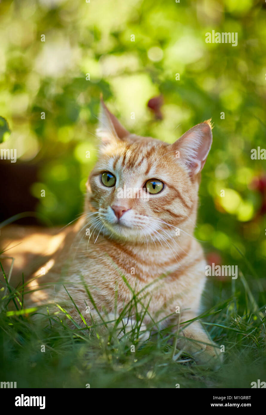 Domestic cat. Red tabby adult lying in grass. Germany. Stock Photo