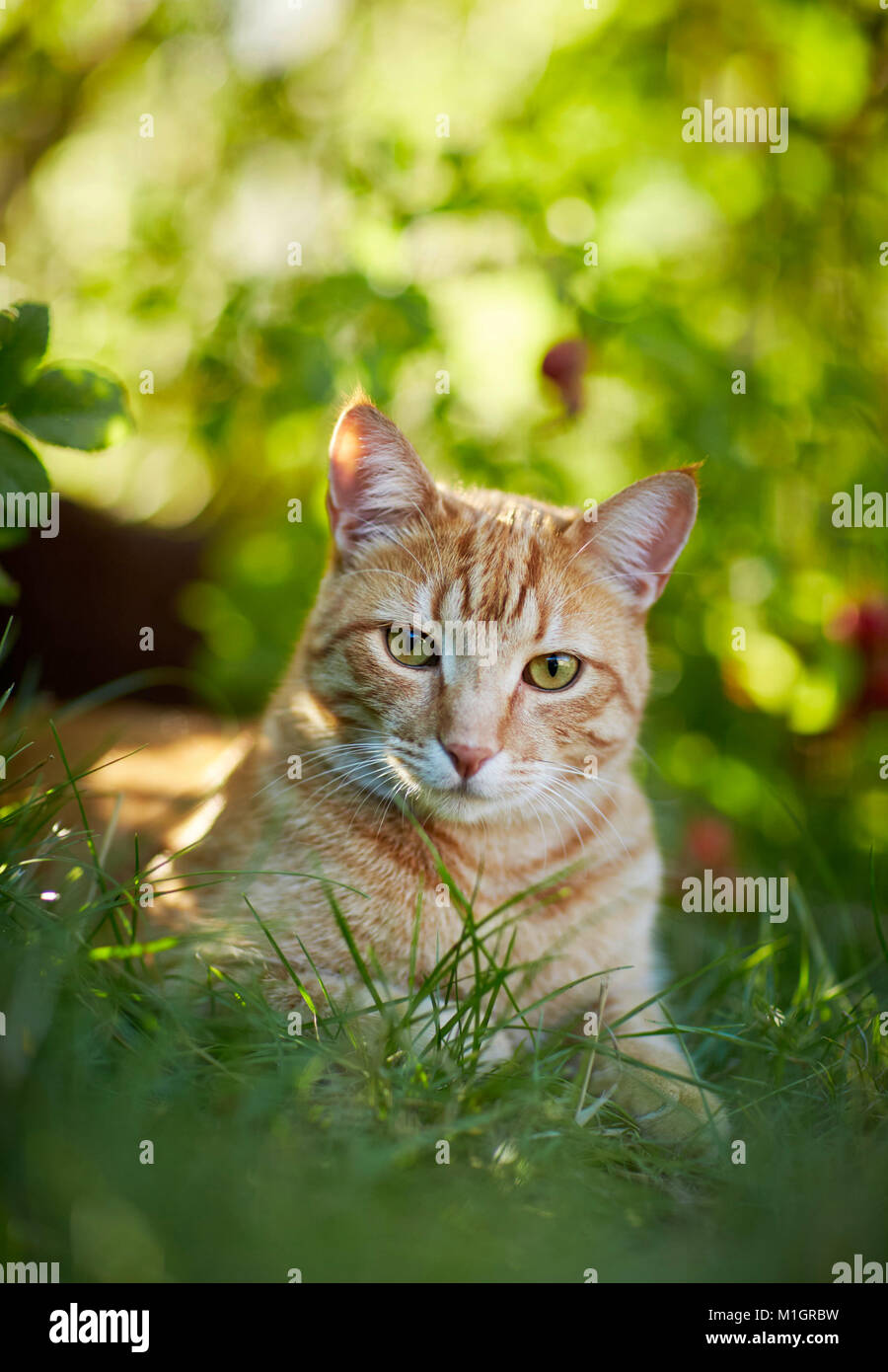 Domestic cat. Red tabby adult lying in grass. Germany. - Stock Image