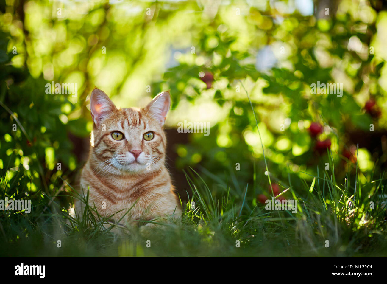 Domestic cat. Red tabby adult lying in grass. Germany - Stock Image