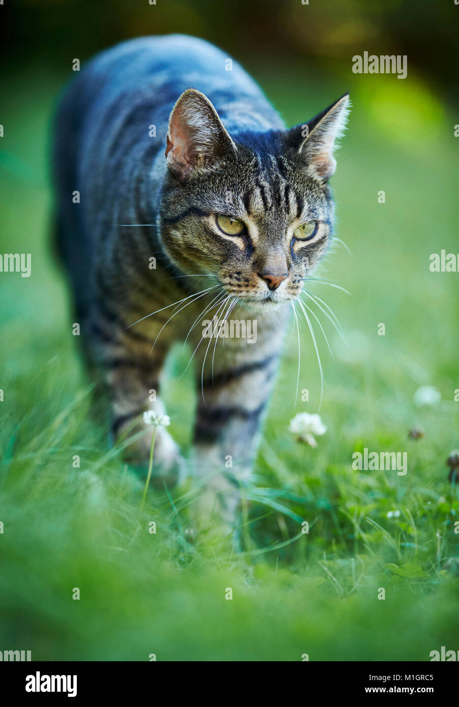 Domestic cat. Gray tabby adult walking in grass. Germany. - Stock Image