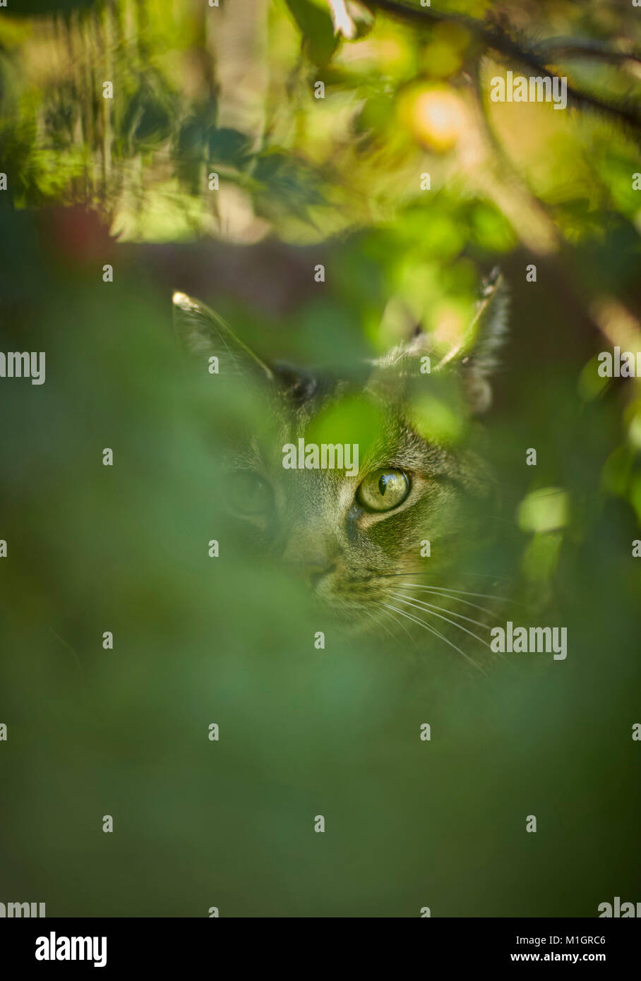 Domestic cat. Gray tabby adult behind leaves. Germany. - Stock Image