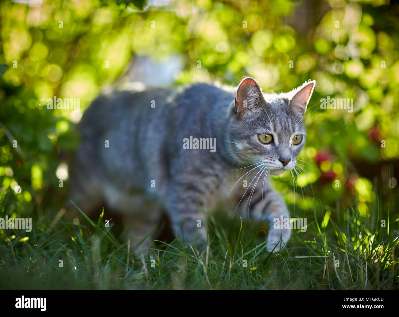 Domestic cat. Gray tabby adult walking in grass. Germany. Stock Photo