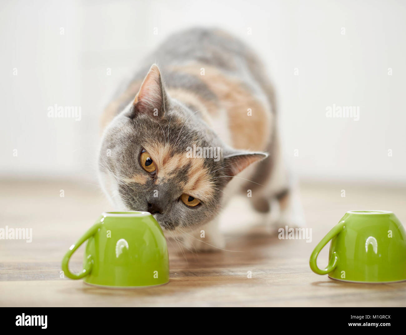 British Shorthair cat. Tricolored adult playing a shell game. Germany - Stock Image