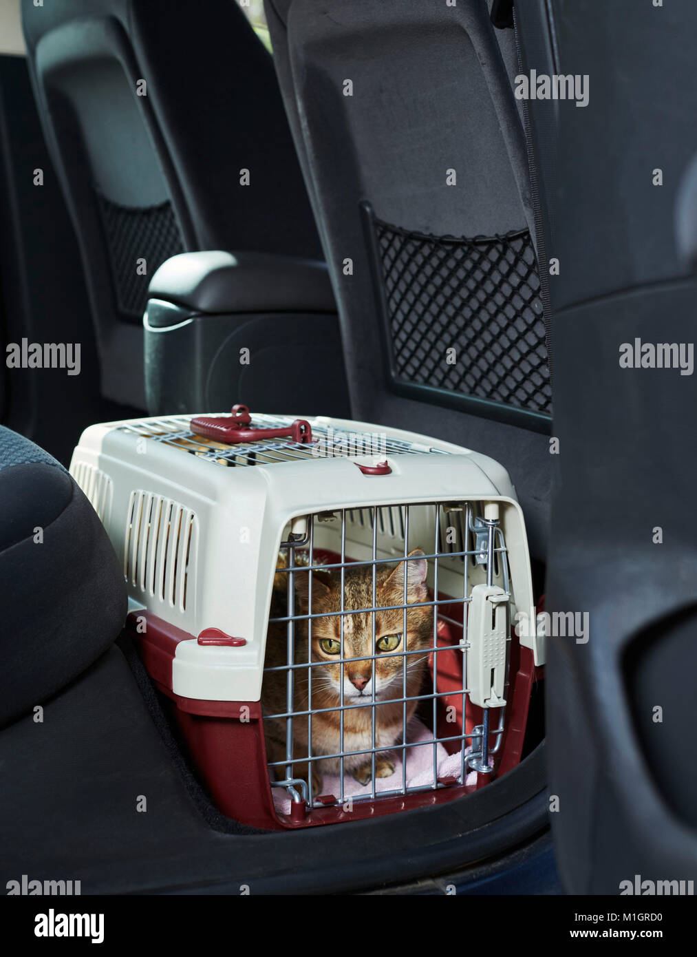 Domestic cat. Tabby adult in a pet carrier in a car. Germany - Stock Image