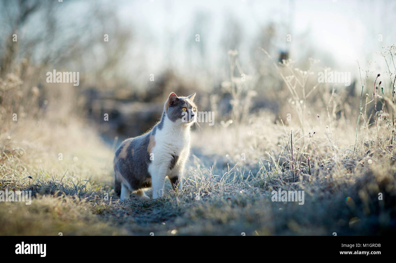 British Shorthair. Adult cat on a frosty morning in a garden. Germany - Stock Image