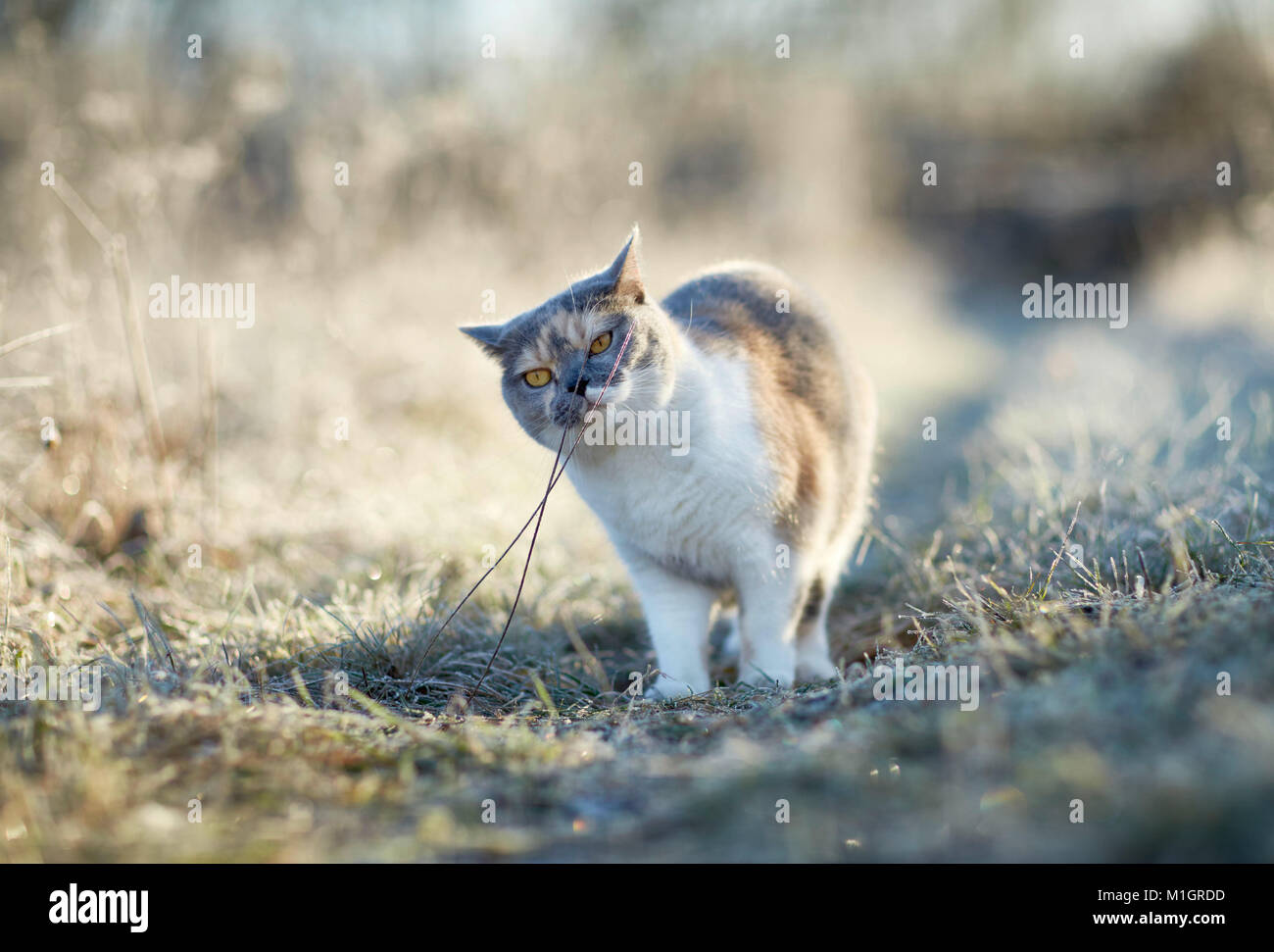 British Shorthair. Adult cat on a frosty morning in a garden, sniffing at stalk. Germany - Stock Image