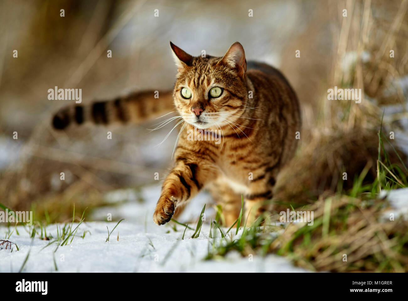 Bengal cat. Adult walking on snow. Germany - Stock Image