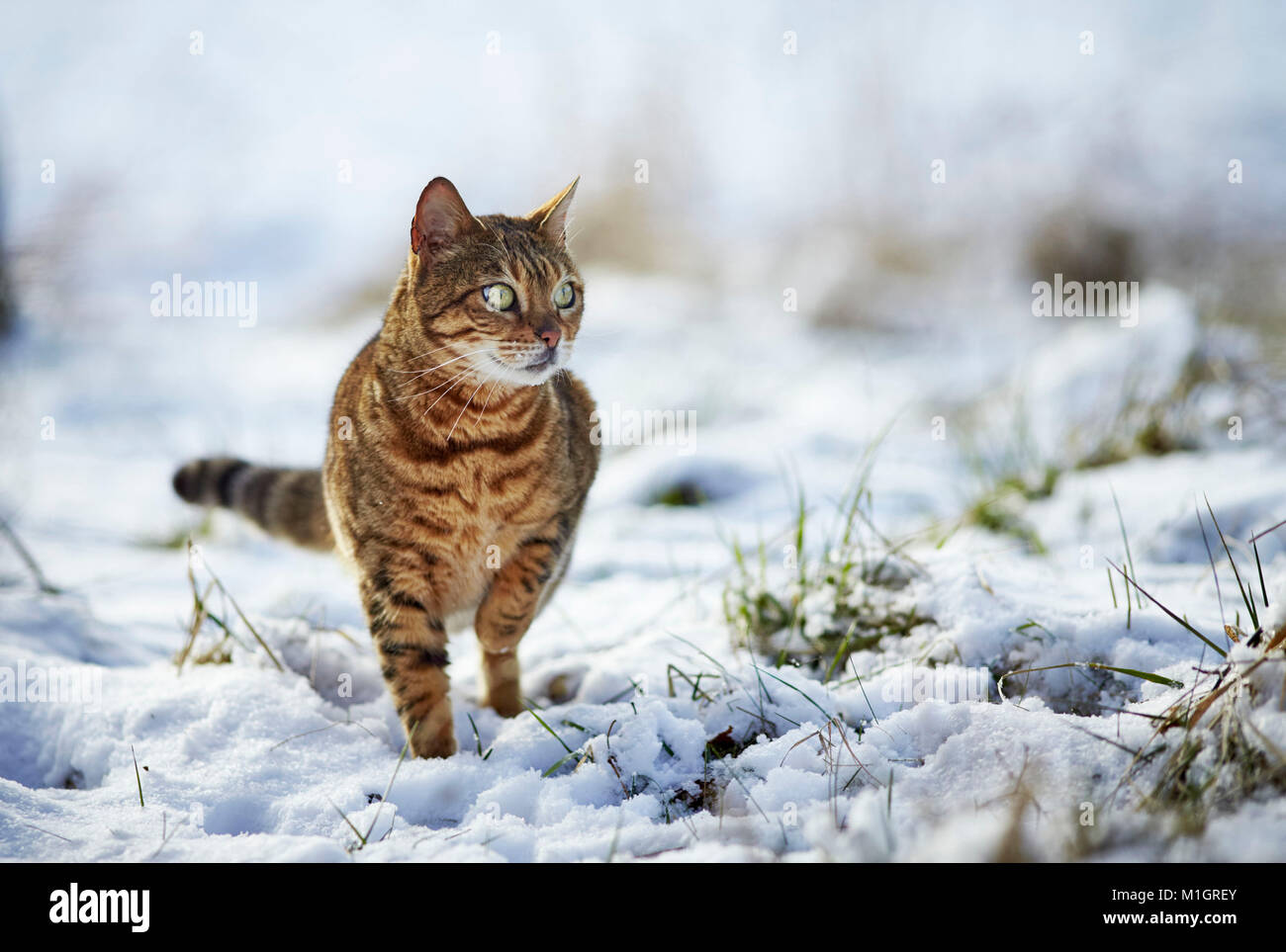 Bengal cat. Adult staning on snow. Germany - Stock Image