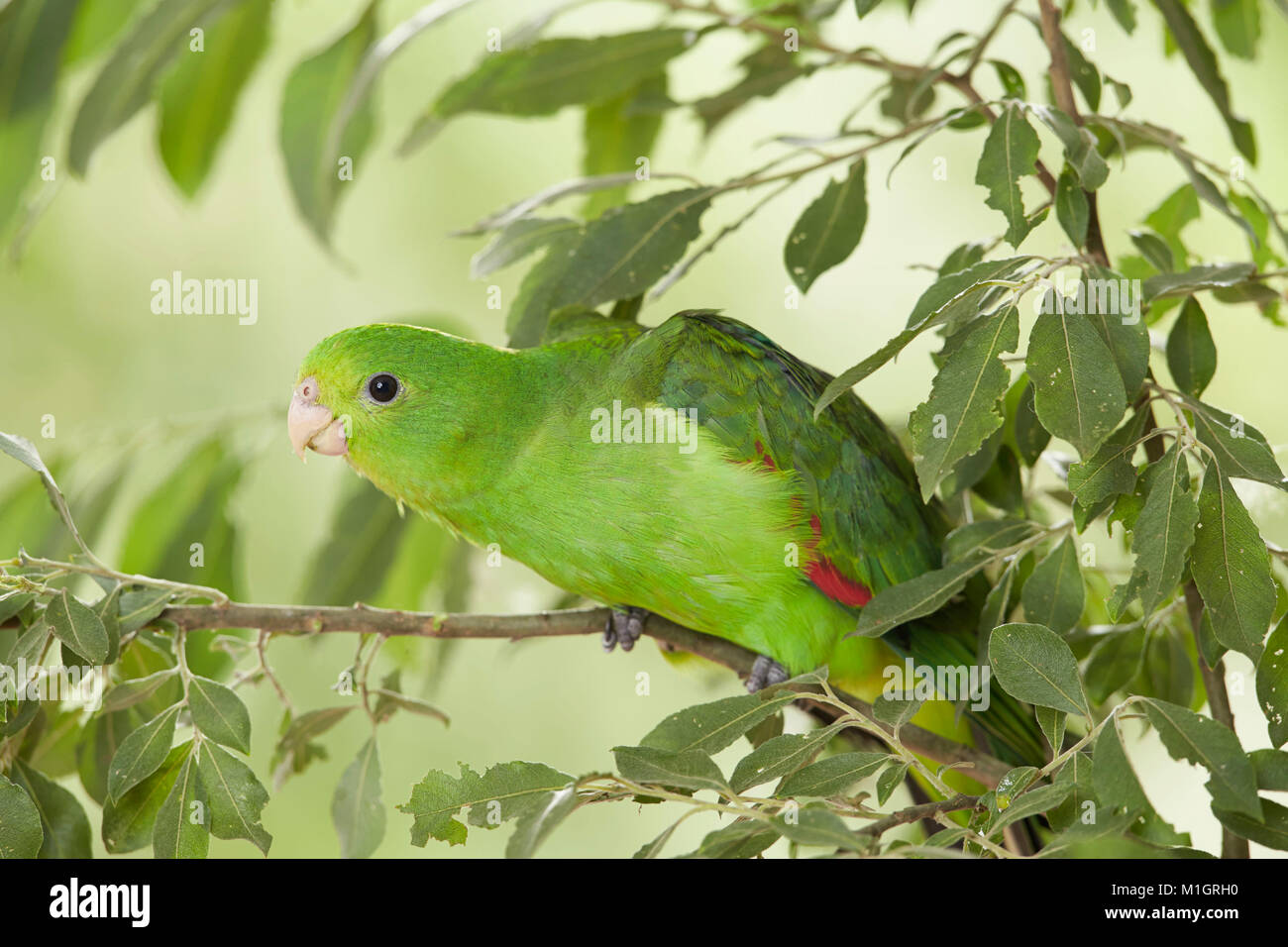 Red-winged Parrot (Aprosmictus erythropterus). Juvenile perched on a willow twig. Germany - Stock Image