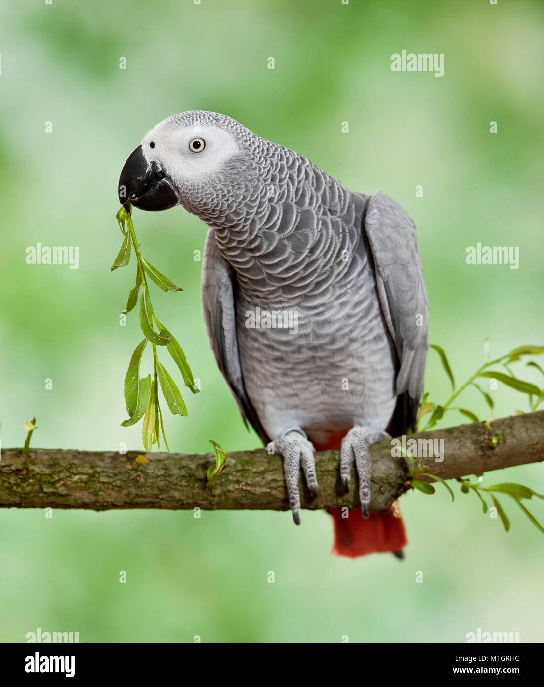 African Gray Parrot  (Psittacus erithacus). Adult perched on branch, nibbling on twig. Germany - Stock Image