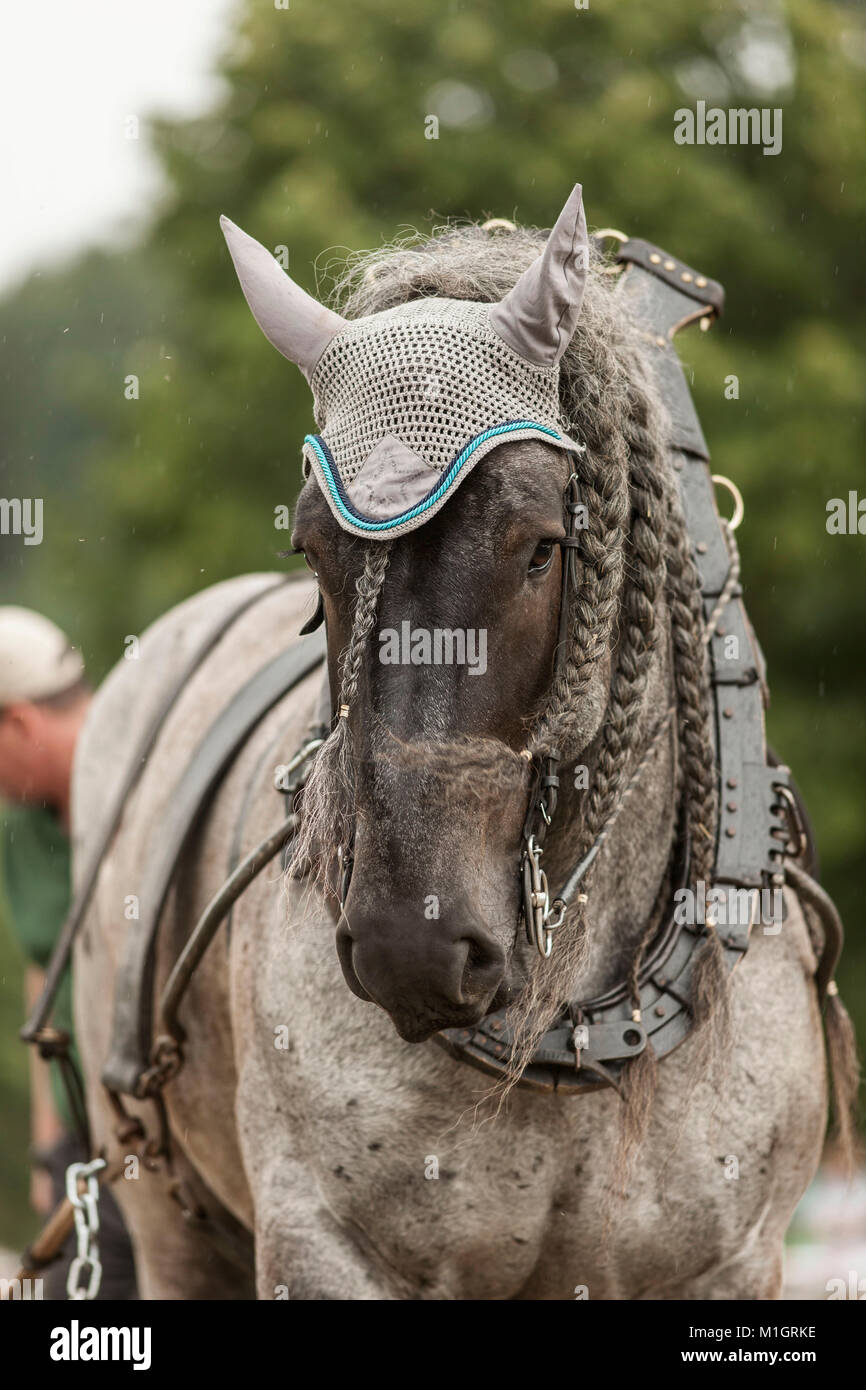 Belgian Draft Horse. Portrait of black adult in harness with collar. Germany - Stock Image