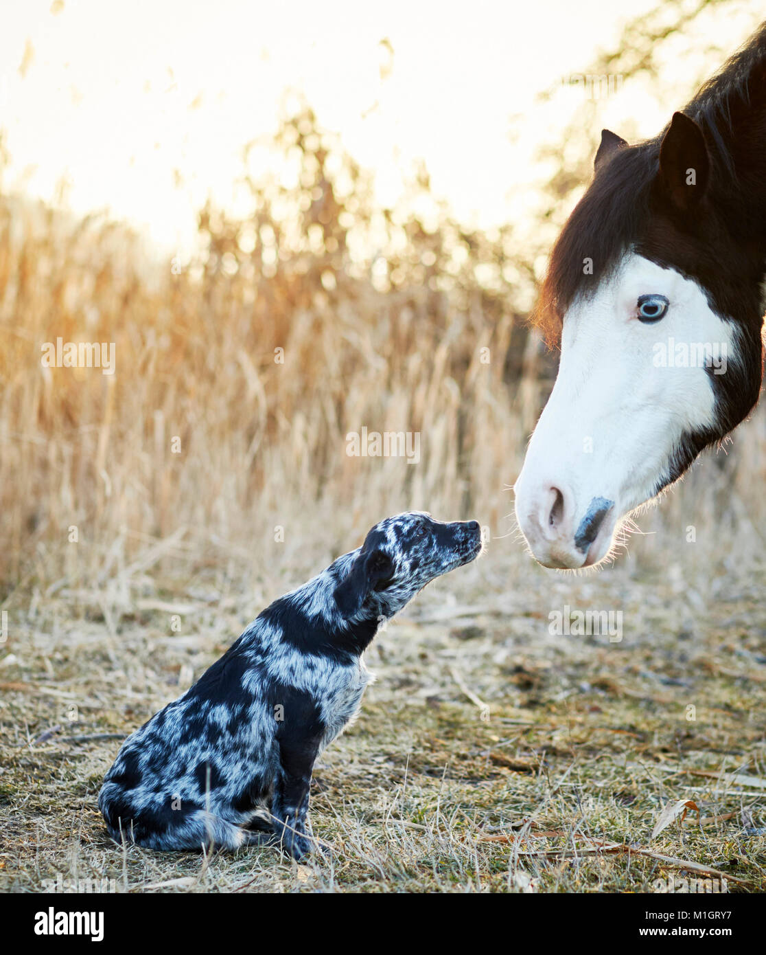 Animal friendship: Pintabian and young mixed-breed dog interacting. Germany - Stock Image