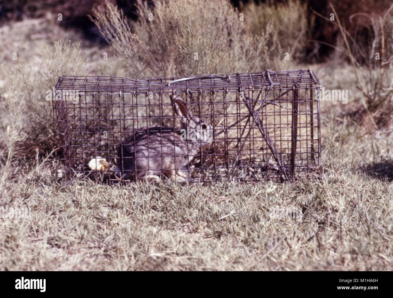 Photograph of a live adult rabbit caught in a metal trap