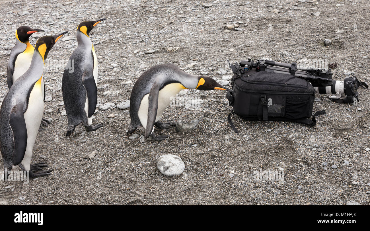 King penguins inspect an eco tourist's camera kit at Gold Harbour, South Georgia Island - Stock Image