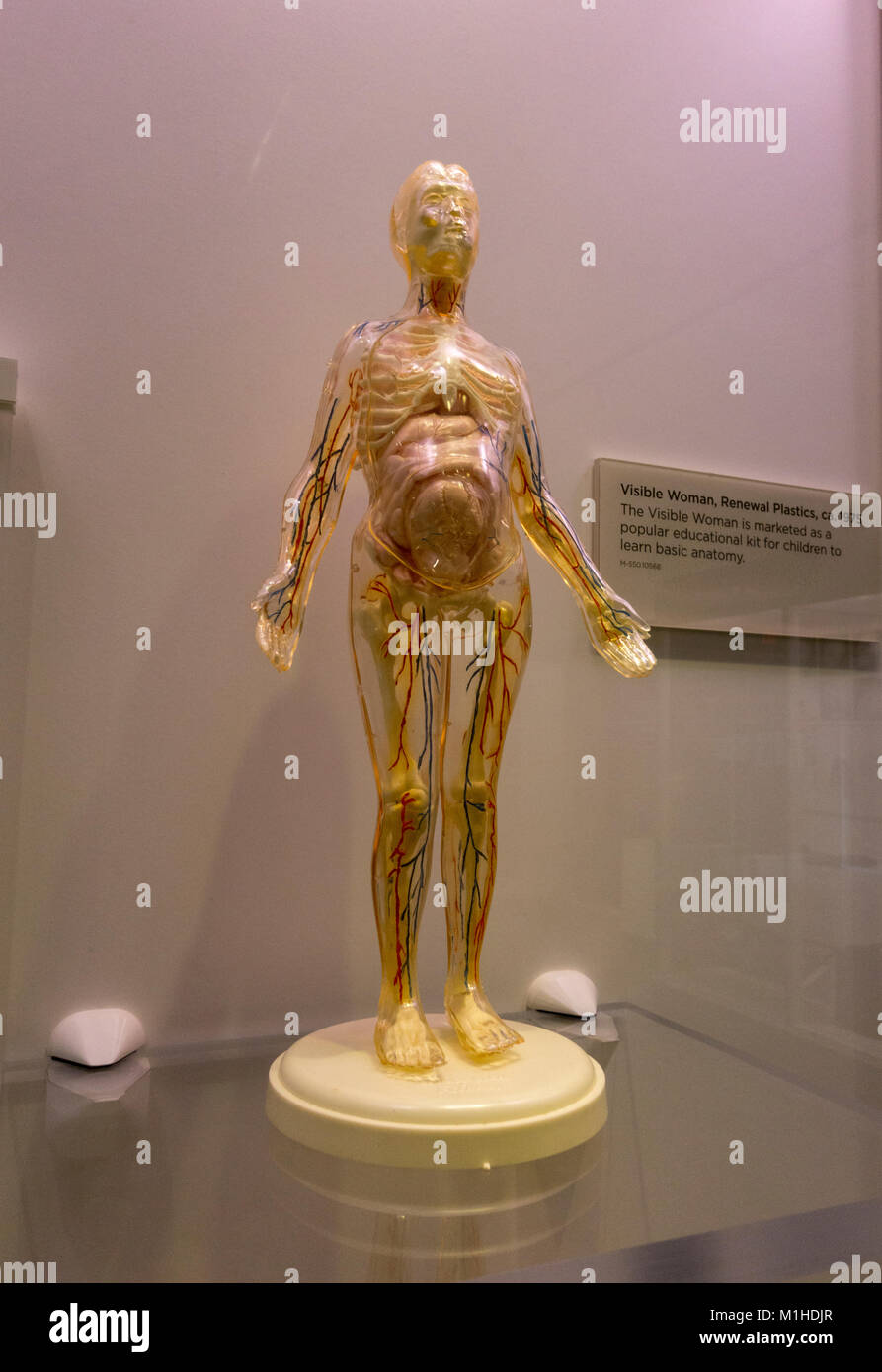 A Visible Woman anatomy model  by Renewal Plastics from 1975 on display in the National Museum of Health and Medicine, - Stock Image
