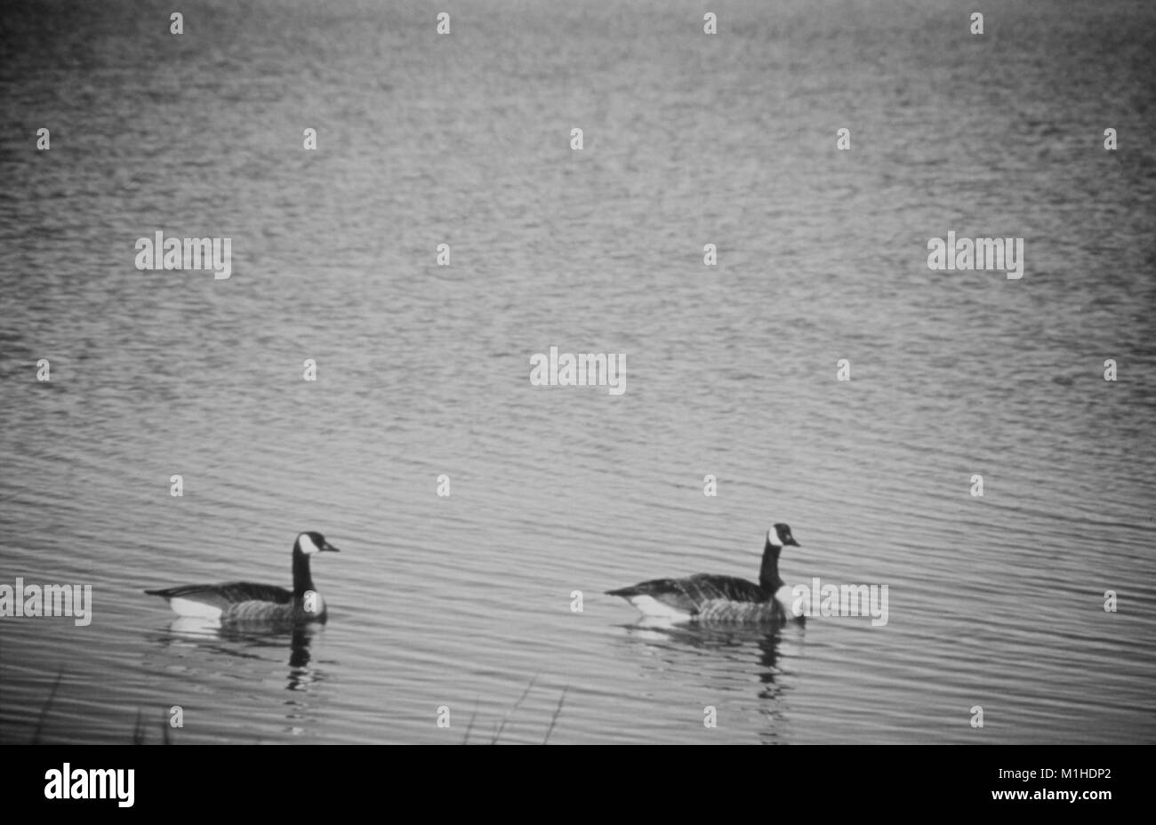 Pait of Canadian geese on a lake, waterborne disease investigation, 1976. Image courtesy Centers for Disease Control - Stock Image