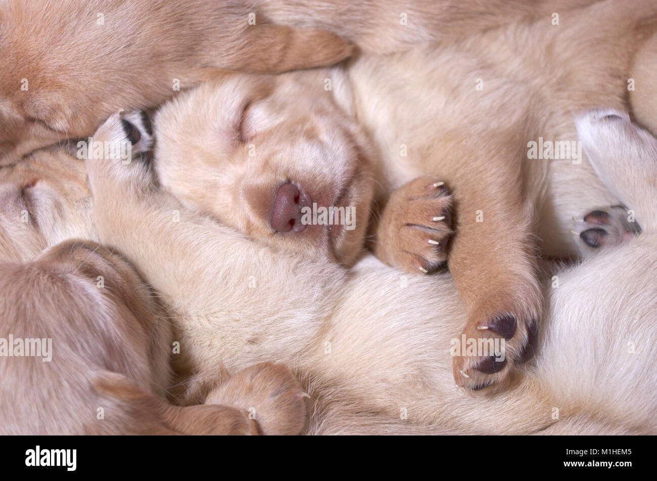 Pile of puppies sleeping - Stock Image