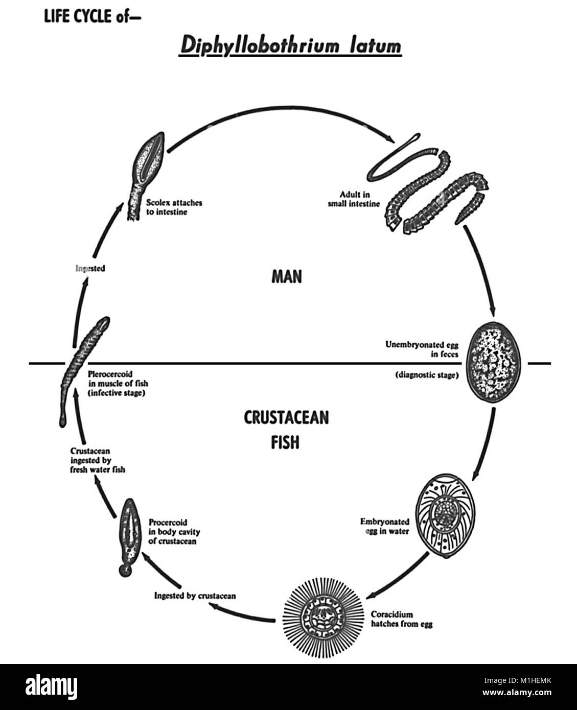 Tapeworm diphyllobothrium latum various stages in the life cycle tapeworm diphyllobothrium latum various stages in the life cycle illustrated 1986 image courtesy centers for disease control cdc ccuart Gallery