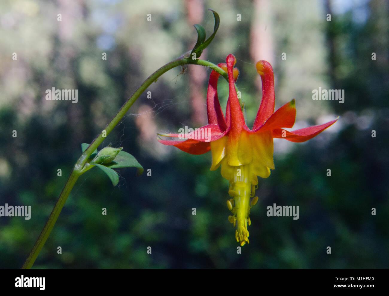 Bloom Of The Western Columbine Stock Photo 173103840 Alamy