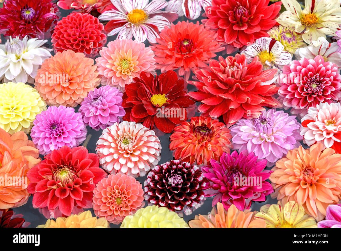 Dahlia (Dahlia i.S.), Dahlie (Dahlia i.S.) Stock Photo