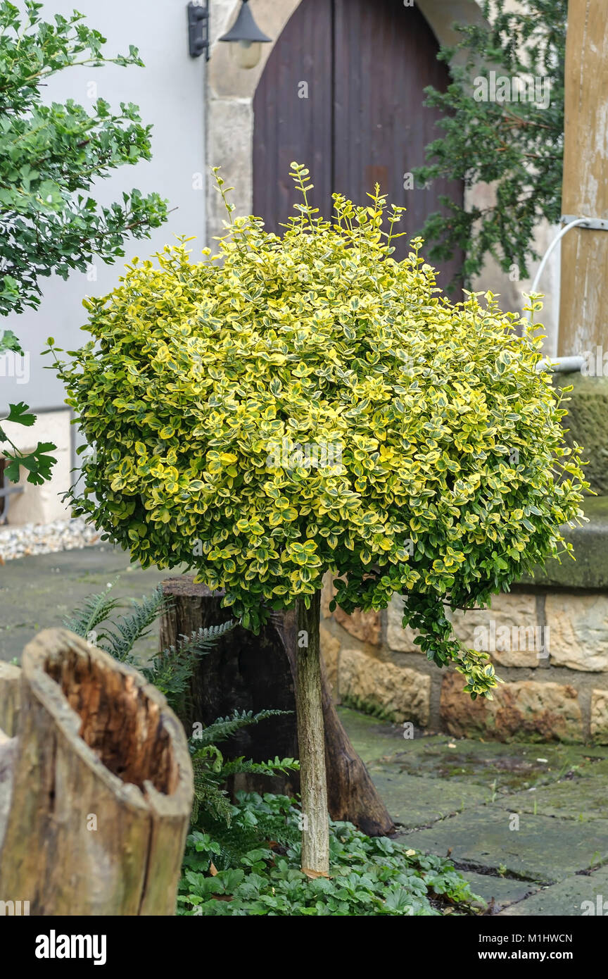 Evergreen Shrub Euonymus fortunei Emerald n gold (spindle), Immergrüner Spindelstrauch (Euonymus fortunei Emerald - Stock Image